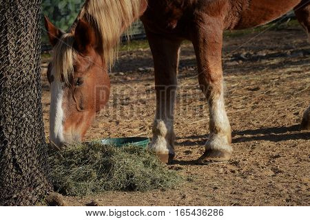 A brown horse grazing during the afternoon