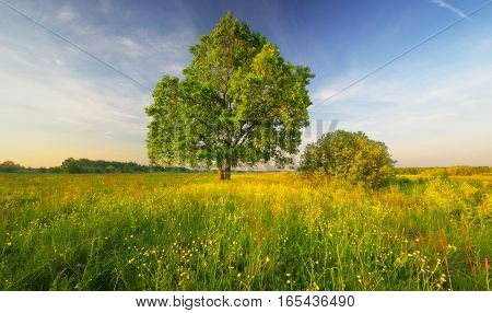 One green tree in meadow. Blue sky over blossom meadow. Warm spring morning landscape. Yellow flowers in green grass in morning sunlight.