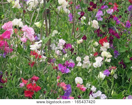 Mixed colour sweet peas (Lathyrus odoratus) in flower with supporting bamboo canes.