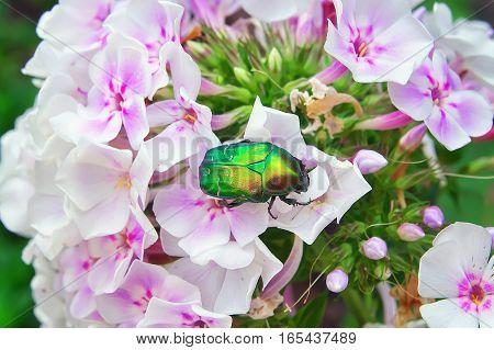 Chafer on a white flower. Cockchafer close-up