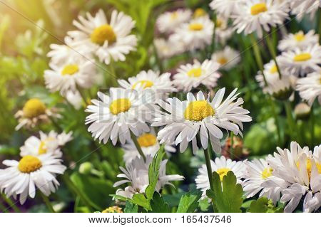 chamomile flowers. blooming chamomile flowers in spring field.