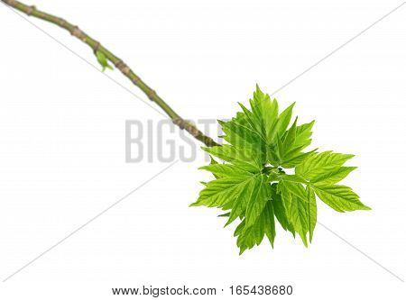 Spring twigs of maple ash (acer negundo) with young green leaves. Isolated on white background.