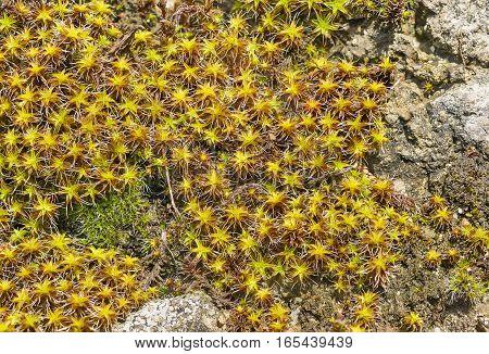 Background of plants sentrie rural (lat. Syntrichia ruralis) on the stone