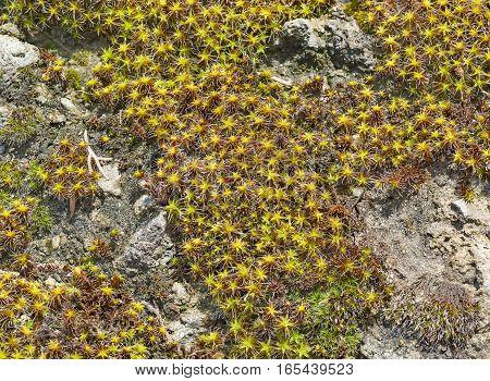Background of plants sentrie rural (lat. Syntrichia ruralis) on the rocks