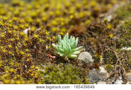 Sedum (lat. Sedum) and sentrie rural (lat. Syntrichia ruralis) on the rocks