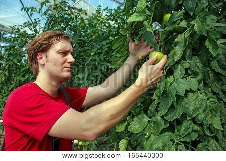 Farmer controlling growth of tomato plants in commercial greenhouse. Portrait of vegetable Grower.