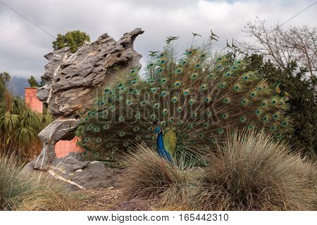 Mating display of a blue and green male peacock Pavo muticus in a botanical garden