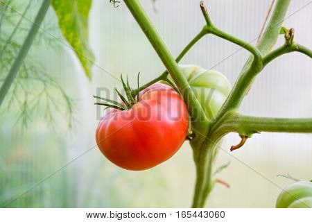 Red ripe tomatoes hanging on a branch
