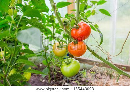 Beautiful tomatoes hanging on a branch in greenhouse