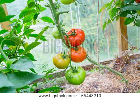 Tomatoes Hanging On A Branch