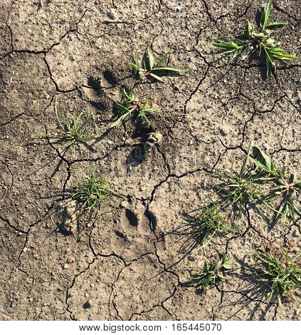 Small paw prints in dry dirt with some grass.