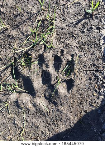 A big paw print on a shadowy trail.