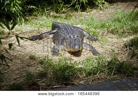 the American alligator is going towards the water