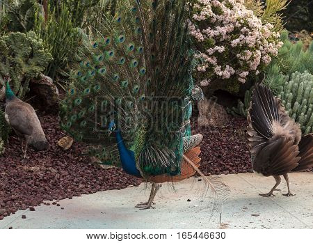 Mating Display Of A Blue And Green Male Peacock