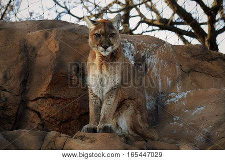 An adult puma resting on the rocks