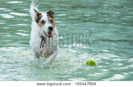 Small dog running in a pool after small green tennis ball