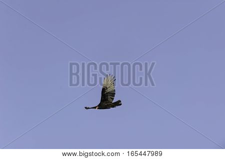 Turkey vulture makes eye contact as it flys by