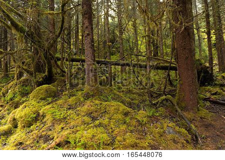 Trees and a green moss cover the floor of an Alaskan rain forest