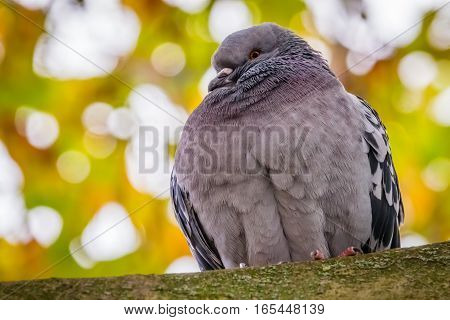 Pigeon sitting on a branch of a tree on a cold  autumn day