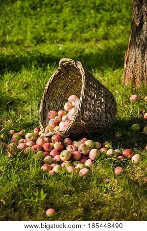 The Basket of Apples. harvest autumn apple fruit grown ecological way