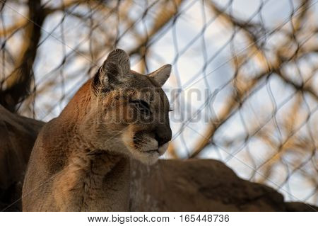 An adult puma resting on the rock