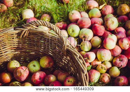 The Basket of Apples. harvest autumn apple fruit grown ecological way