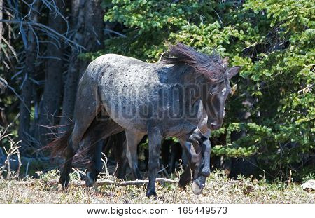 Windblown Wild Horse Blue Roan colored Band Stallion in the Pryor Mountains Wild Horse Range in Montana - Wyoming USA.