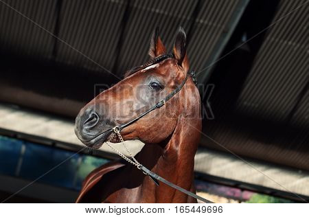 portrait of sportive bay horse at manege background