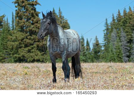Wild Horse Blue Roan Stallion in the Pryor Mountains in Montana - Wyoming USA.