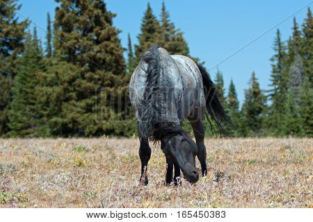 "Wild Horse Blue Roan Band Stallion in ""snaking"" posture in the Pryor Mountains Wild Horse Range in Montana - Wyoming USA."