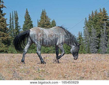 Wild Horse Blue Roan  Band Stallion on the move in the Pryor Mountains Wild Horse Range in Montana - Wyoming USA.
