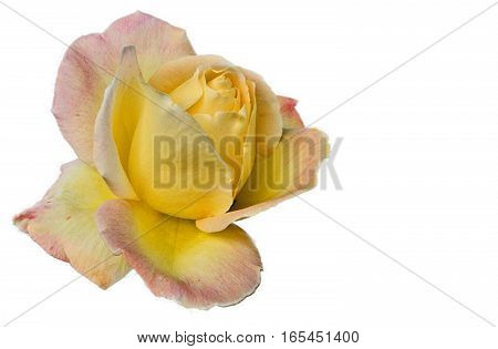 Beautiful bloomed yellow rose on a white background.