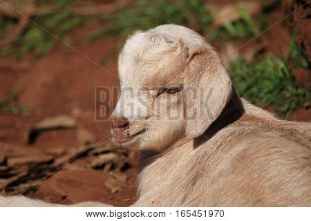 Close of the face of a newborn baby goat