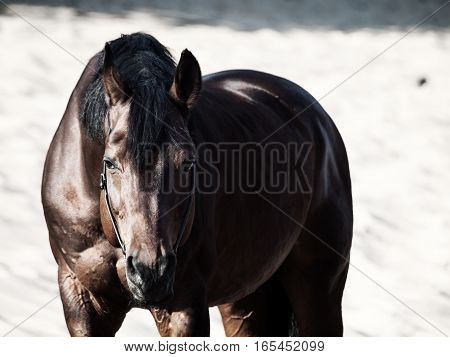 Beautiful breed bay horse in the desert