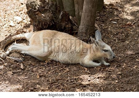 northern nail-tail wallaby or onychogalea unguifera animal laying across ground under tree