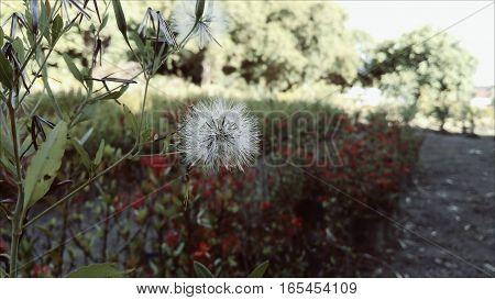 garden itaparica simple horto airfield dandelion bahia