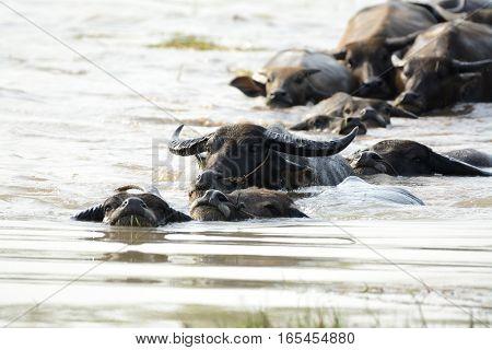 Thai water buffalo swiming in the river
