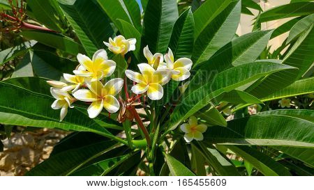 plumeria plant tree tropical flower close detail