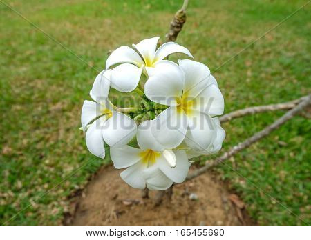White and yellow frangipani flowers in a garden