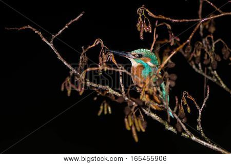 Kingfisher (Alcedo atthis) roosting in tree at night. Common kingfisher in the family Alcedinidae at rest on alder on river bank in profile