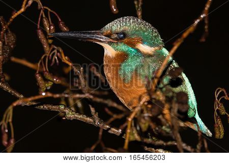 Kingfisher (Alcedo atthis) with transparent third eyelid partially closed. Common kingfisher in the family Alcedinidae at rest on alder on river bank with visual adaptation for seeing underwater
