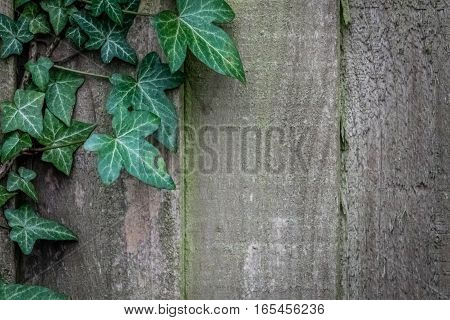 Green ivy climbing on the old wooden fence wall