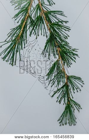 Morning dew drops on a spider web on a pine branch
