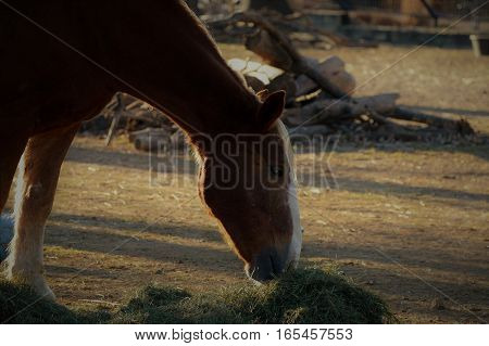 Close up of a brown horse out grazing