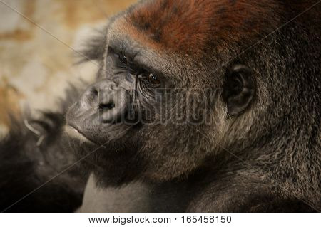 Close up of a western lowland gorilla