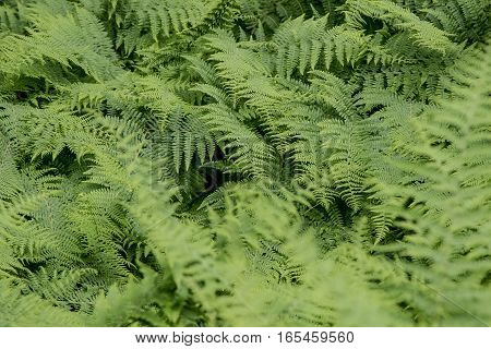 Ferns grow close together in a forest.