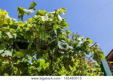 Green vine with unripe grapes over the blue sky of May.