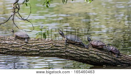 Several turtles resting on a tree trunk.