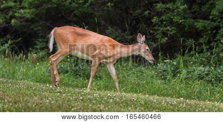 A young deer grazing on a meadow.