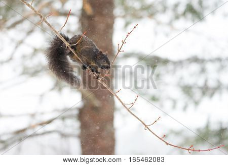 Peculiar female specimen of common Black, grey squirrel as she shows off acrobatic skill and ability to balance on a light thin branch as she looks to jump.